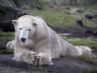 Der Polarbär Eric beobachtet entspannt was vor sich geht © jinterwas