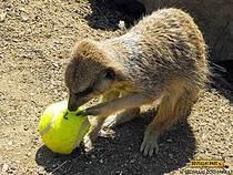 Erdmännchen im Drusillas Zoo Park. © Drusillas Zoo Park